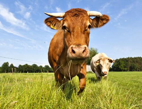 L'importance du conditionnement du transport des animaux d'élevage